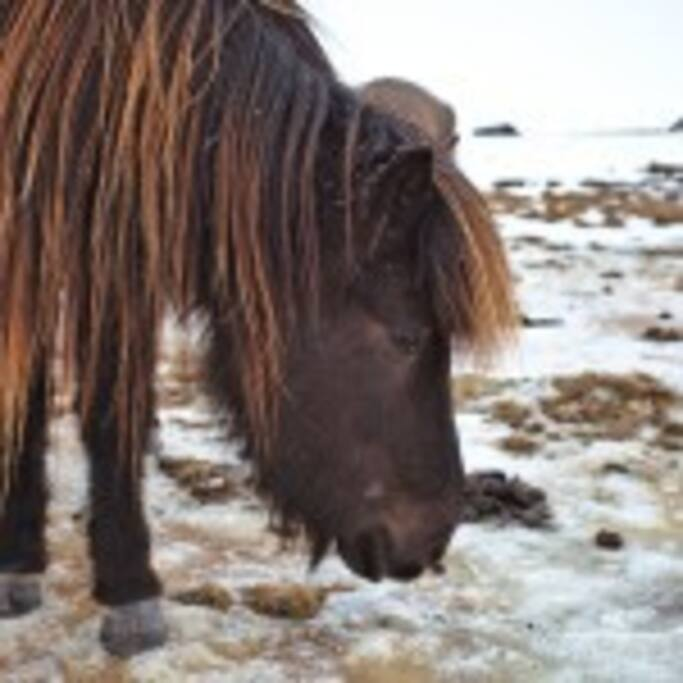 The home of the icelandic horse
