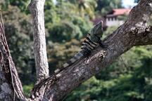 Lazy Iguanas