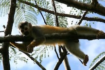 Funny squirl monkeys visiting