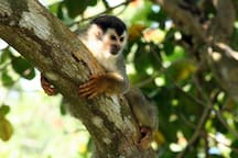 Squirl monkeys
