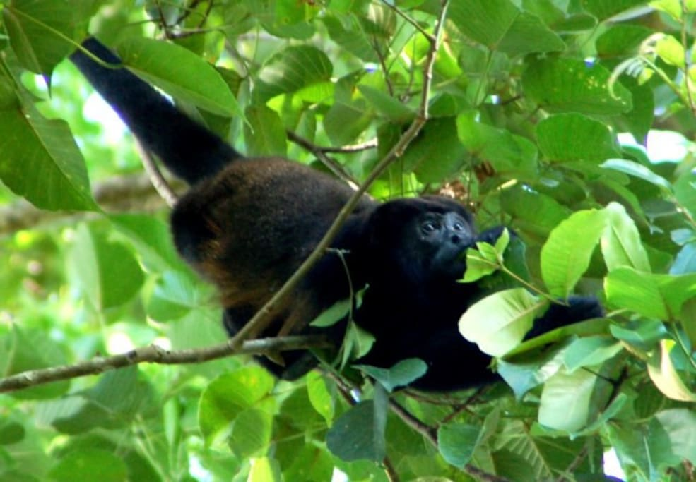 Howler monkeys live in the protected jungle next to us. Hear them serenade the sunrise and sunset!