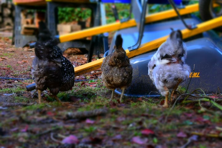 Welcome to our urban farm! Let us know if you'd like to come outside to see the chickens, and don't be afraid if they come right up to the window to visit you!