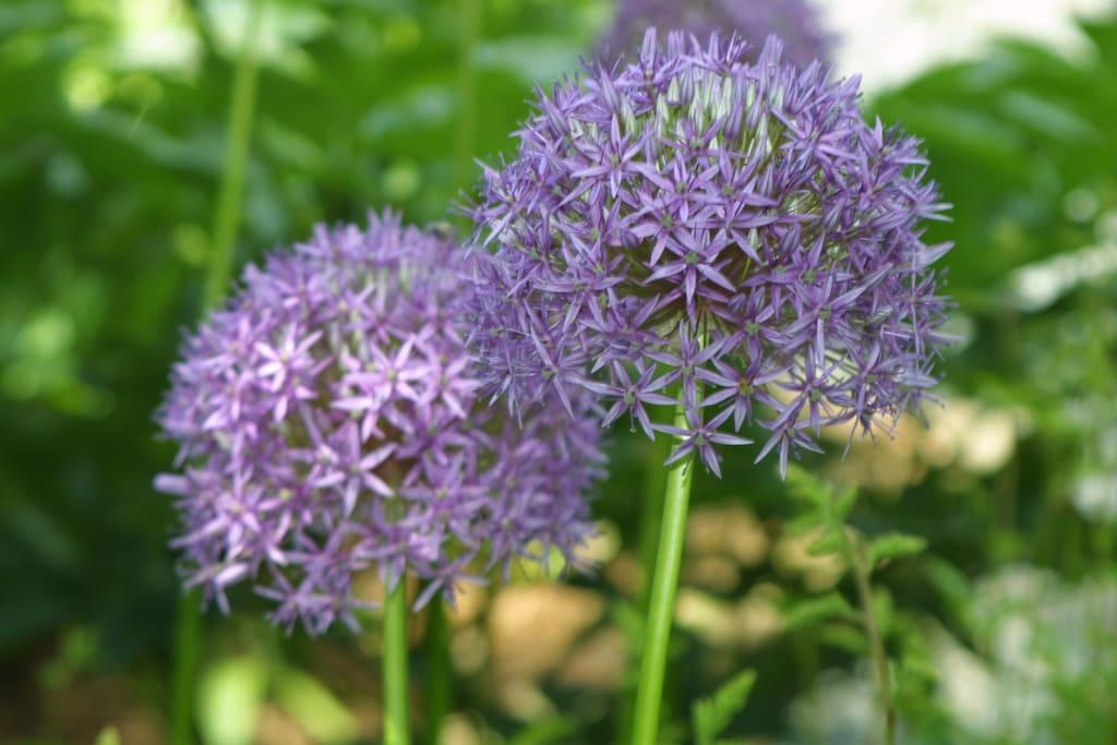 Flowering onion plants in the garden