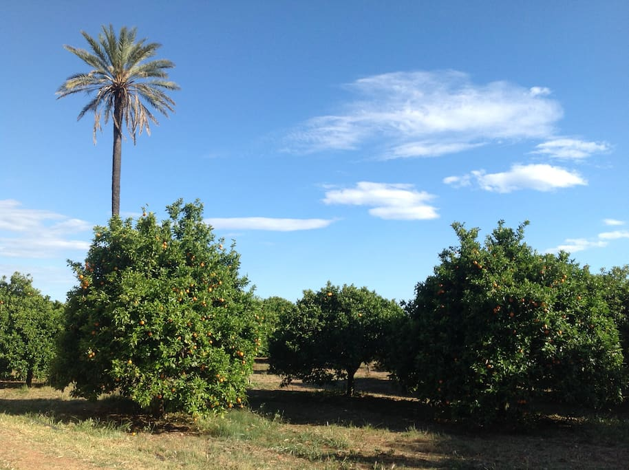 The orange orchard and its lone and beautiful palm tree