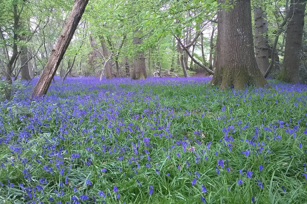 Bluebells in the woods.  Enjoy them in April and May