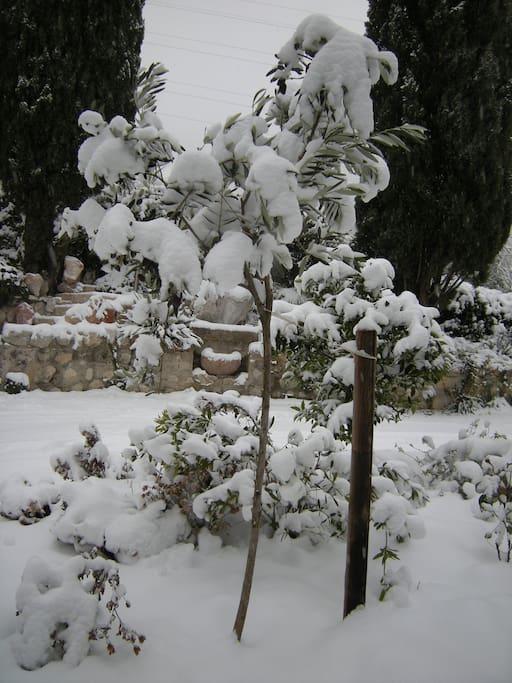 ertsmals Schnee auf dem kleinen Olivenbaum im Garten!