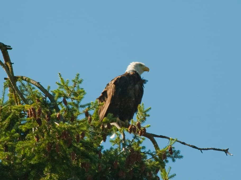 Huge bald eagle sits in his favorite tree overlooking Del Mar Cove vacationers.