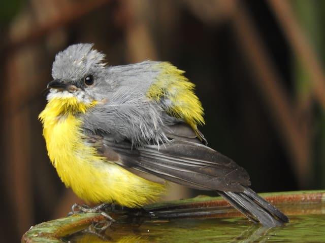Yellow Robin.