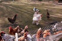 More hens, ducks and Colin the cockerel