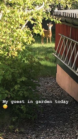 Unexpected dear guests coming and visit our garden regularly