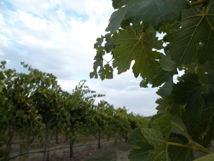 Take a stroll amongst the vines