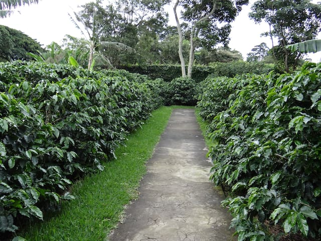 Coffee Plantation at Doka Estate Coffee Tour