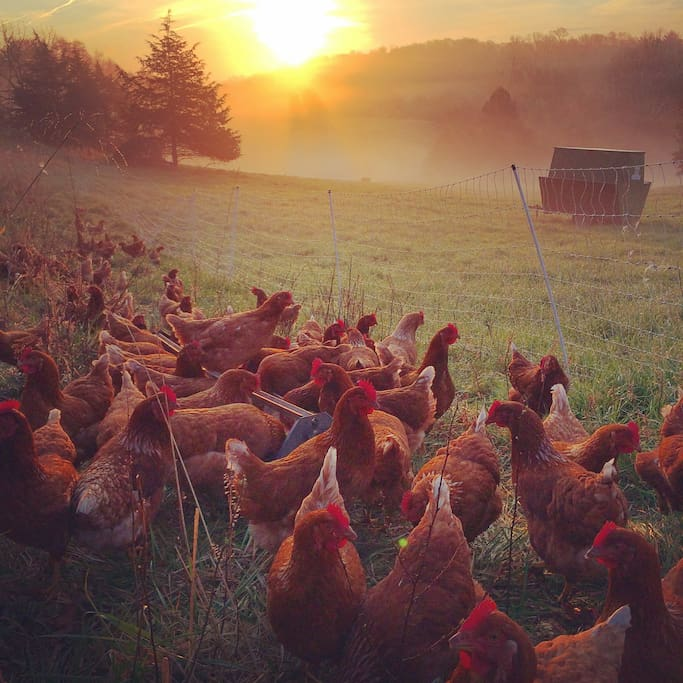 Our laying hens look best in the dawn light.