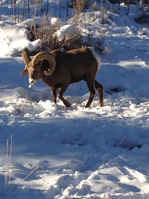 A mountain Ram outside the back door
