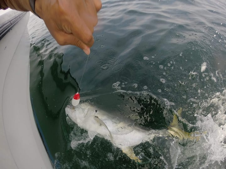 Pacific Jack Crevalle