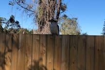 Local wildlife right at your front door  Kookaburra warming himself in the sun.