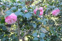 Camellias in bloom in the Spring behind the cottage.
