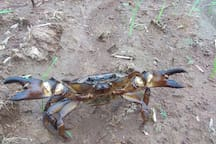 grab d crab