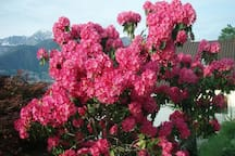 Rosa Rhododentron