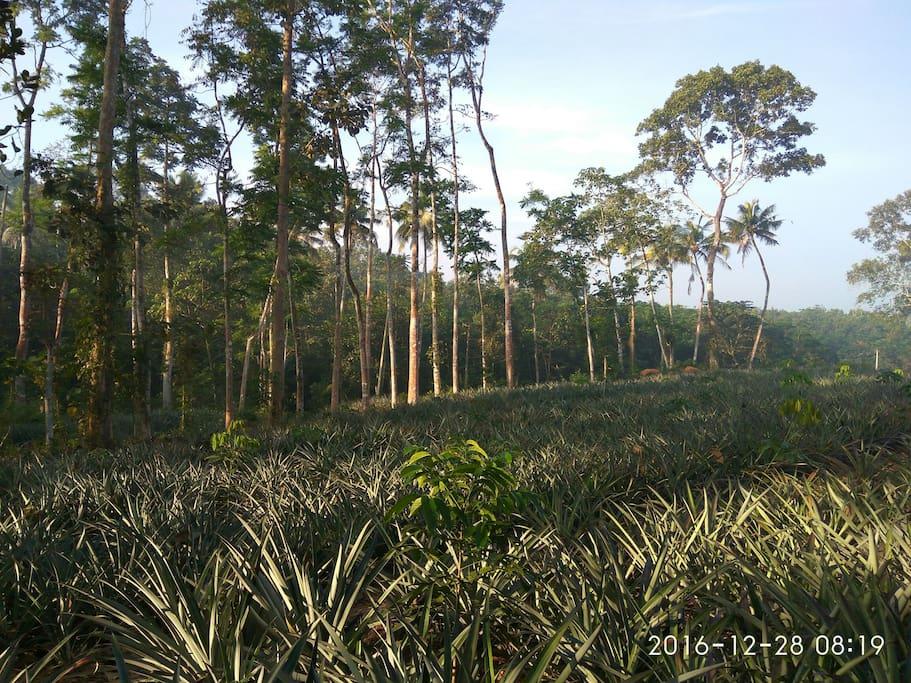 Pineapple plantations