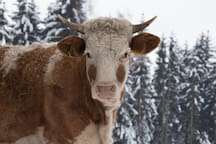 Unsere Kühe befinden sich auch im Winter im Stall, welcher neben dem Almhaus zu finden ist