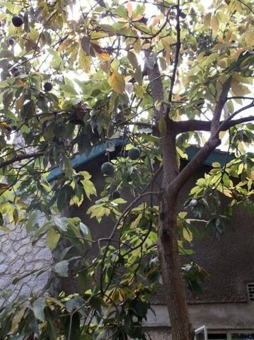 Avocados in season