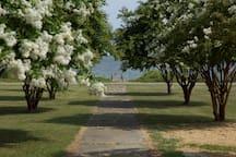 Crepe Myrtles in bloom