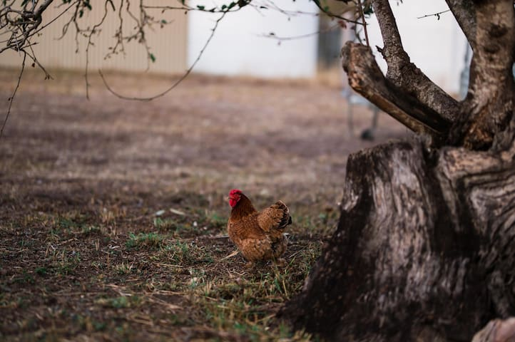 The one and only chook to be joined soon by some chicken friends