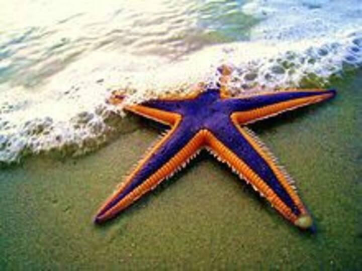 Caribbean frontbeach  Starfish