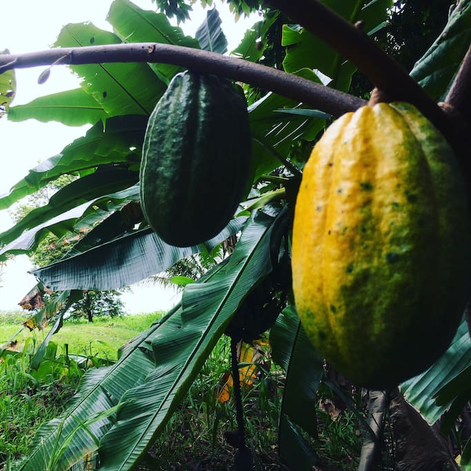 Cacao. The fruit that becomes Chocolate.