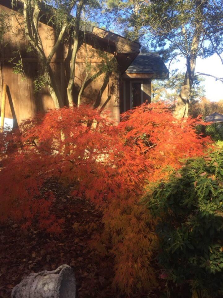 Many specimen Japanese maple trees
