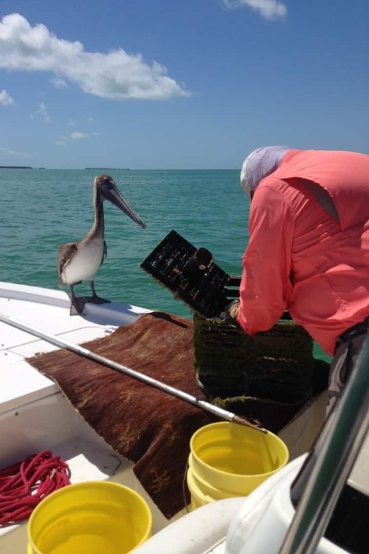 The pelican wants a snack in the trap