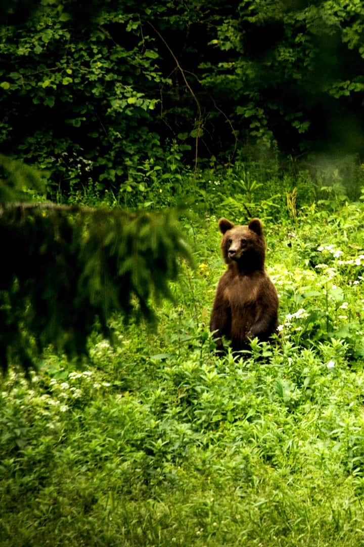 A brown bear standing up