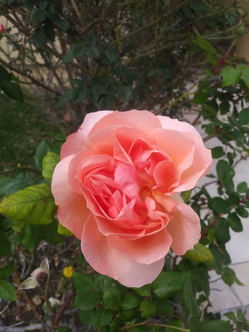 Home grown roses