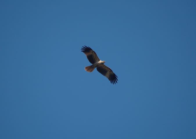 Osprey flying over the lake