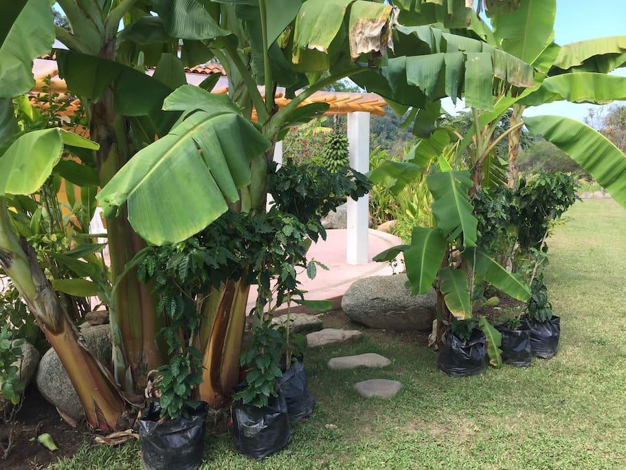 Banana trees greet you.