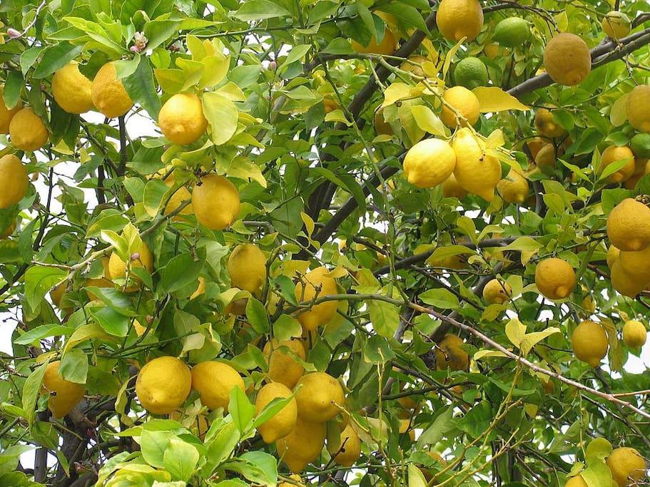 The lemon-trees smelling amazing!