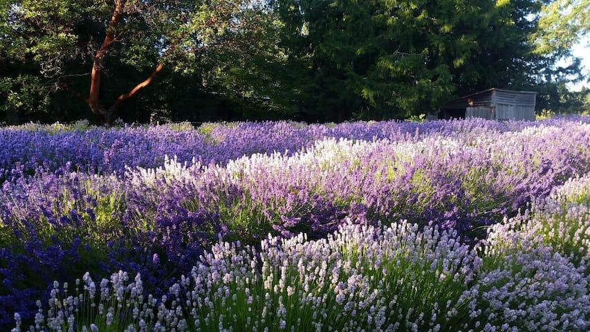 Meshaz Lavender Farm