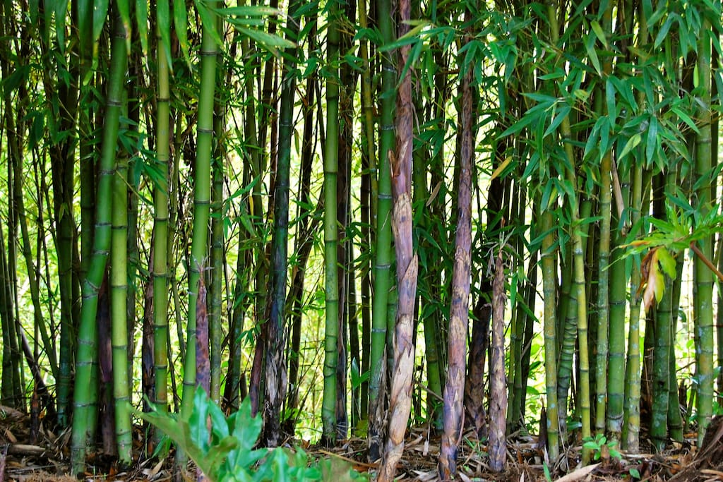 Bamboo Hedge Around Property