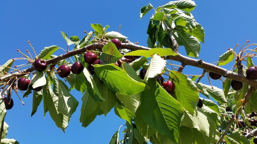 Cherries on the tree loonnggg name testtest - Jordan Valley - Altro