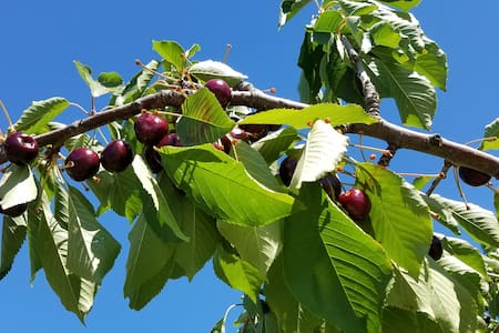 Cherries on the tree - Jordan Valley