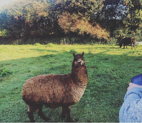 """""""Podge"""" our alpaca lives along the lane from the boat."""