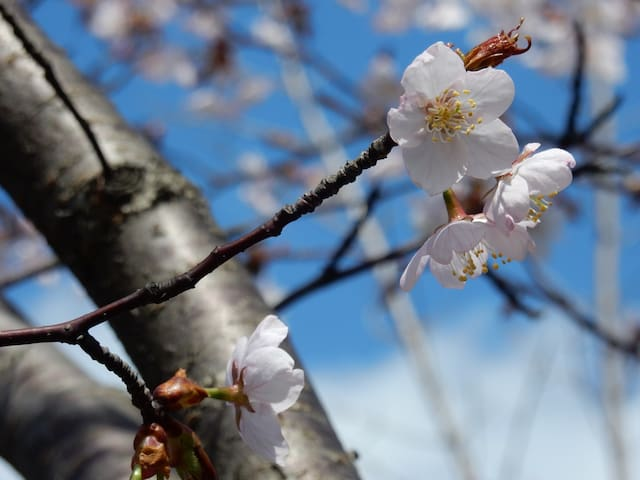 SAKURA! Goryokaku Park! WiFi! enjoy the city! - Hakodate-shi - Byt