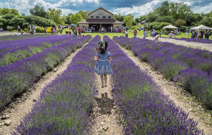 Lavender Festival in The County!