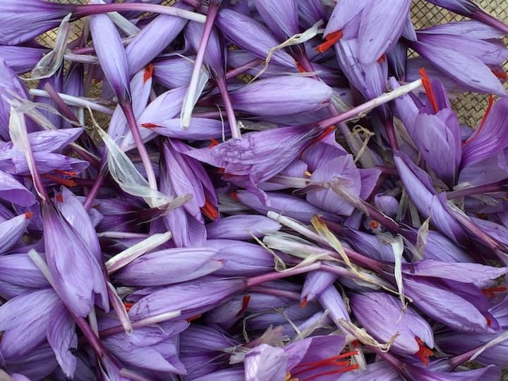 la safranière, production de safran