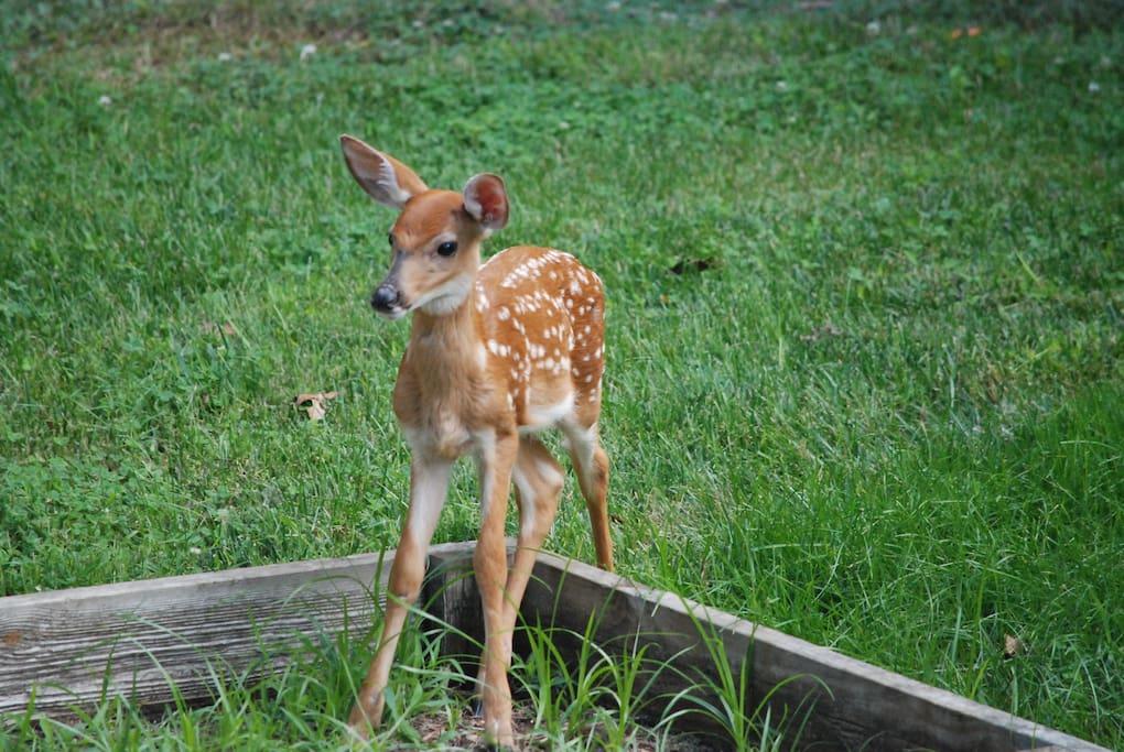 Deer family in the backyard
