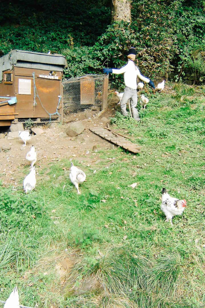 White Sussex chickens