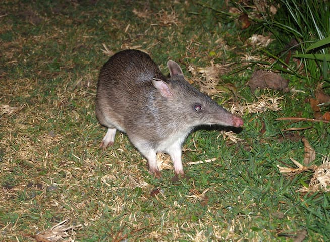 Long-nosed bandicoot - a frequent nocturnal visitor but rarely seen