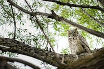 A great horned owl rests in a nearby tree