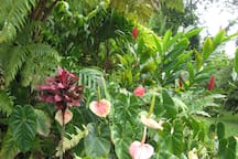Red ti, red ginger and 'Shipman Pink' anthuriums.